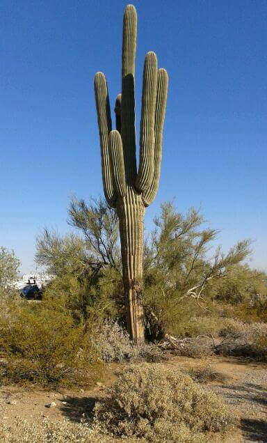 Old Cactus Tree