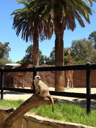 Giraffe & Meerkat