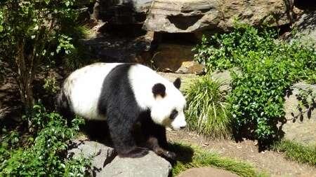 Panda Bear - Adelaide Zoo