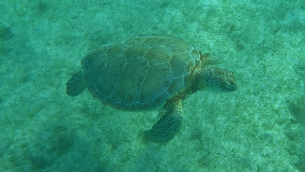 Turtle in Akumal Mexico