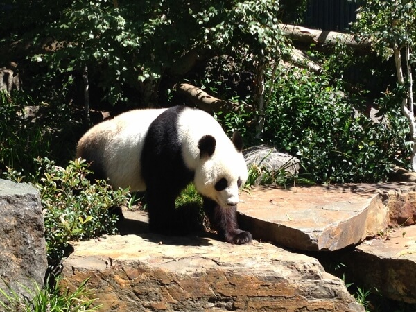Travel Photo Den – Pandas at Adelaide Zoo