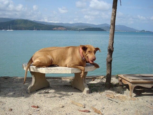 Dogs in Thailand