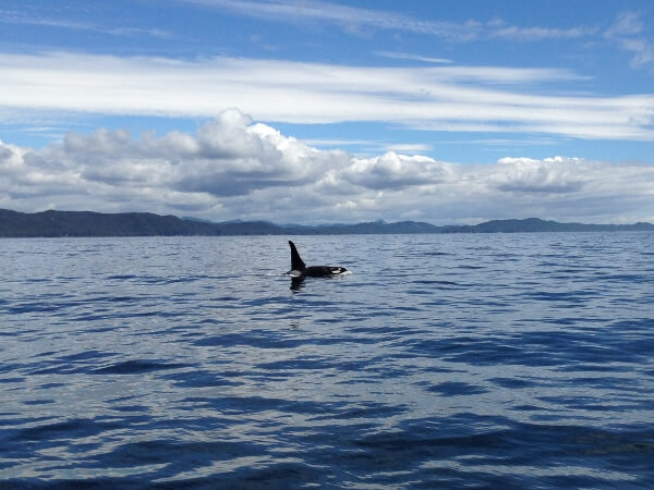 Orca Whale Port McNeill BC