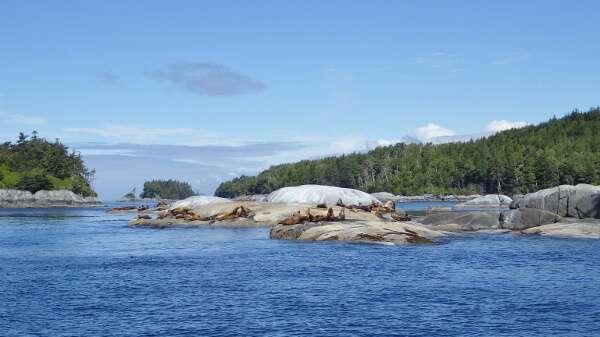 Sea Lions British Columbia