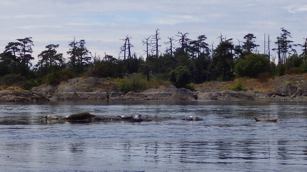Sea Lions Victoria BC