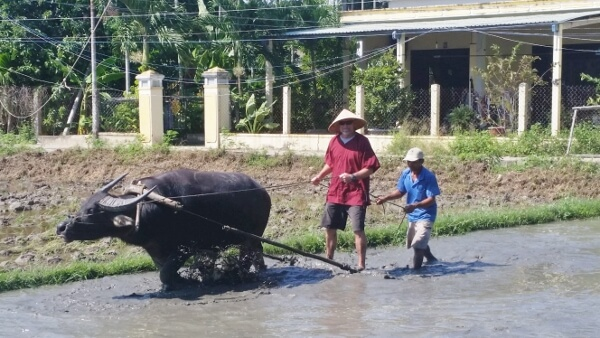 Hoi An Eco Tourism Rice Farming