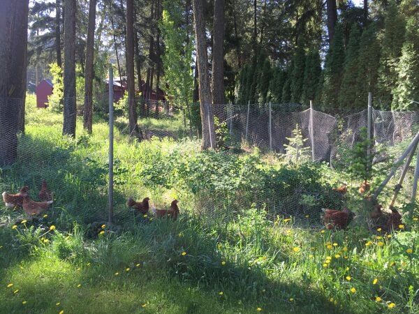 Pinegrove Campground Chickens