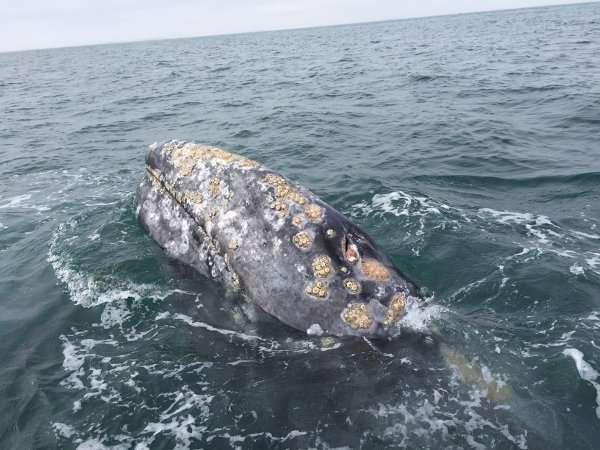 Gray Whale Guerrero Negro Mexico