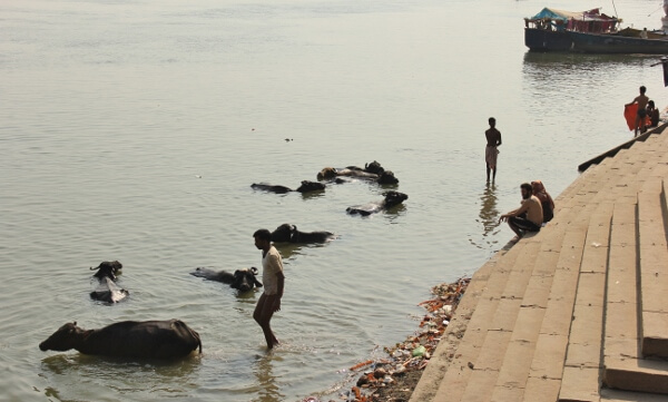 Cattle in Ganges Varanasi