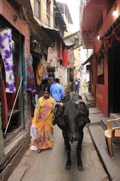 Sacred Cow Varanasi India