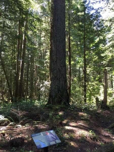 Douglas Fir Trees Vancouver Island