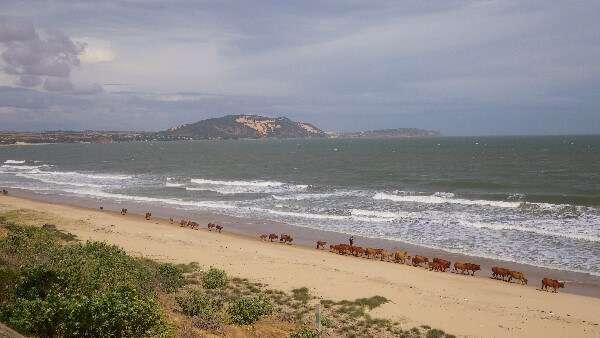 Cattle On The Beach Mui Ne Vietnam