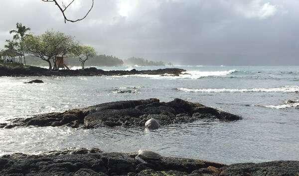 Green Sea Turtles Hilo Hawaii