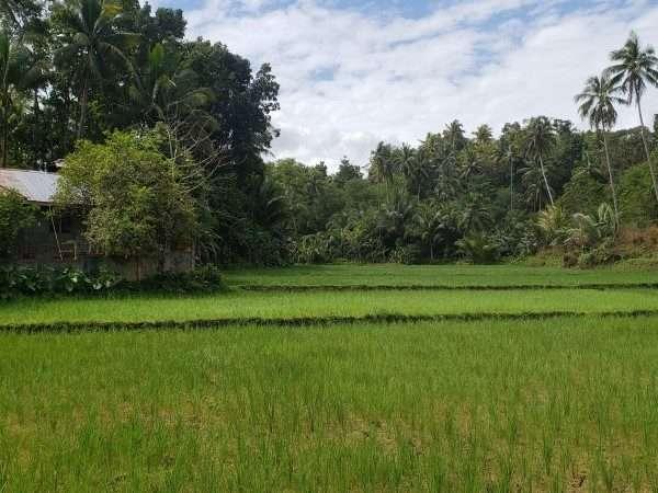 Bohol Philippines rice field