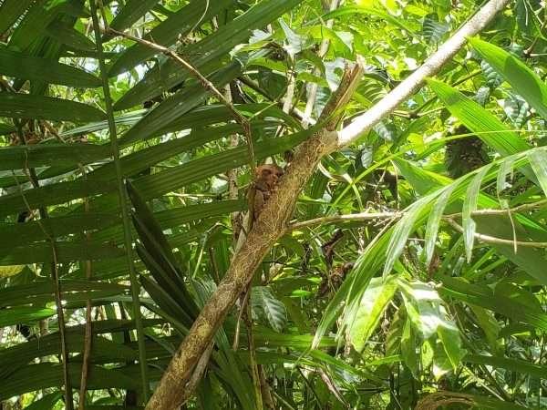 Tarsier in the tree