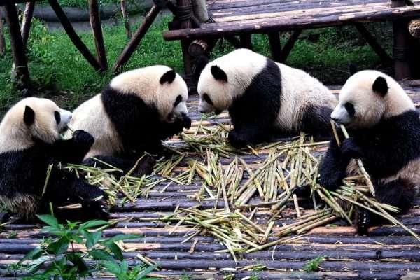 Giant Pandas  Chengdu