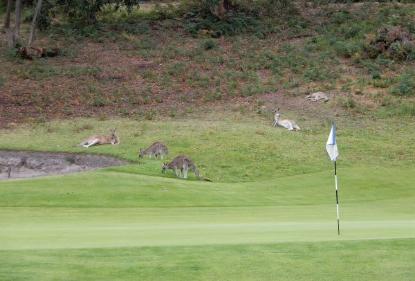 Kangaroos Anglesea Golf Course